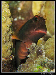 Cute looking Redlip Blenny...........Canon G7 by Brian Mayes 